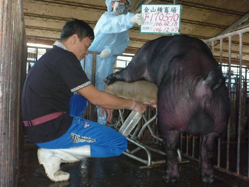 台灣區種豬產業協會10611期F1705-10採精相片