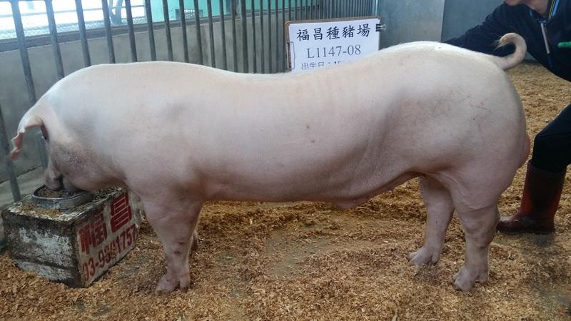 台灣區種豬產業協會10611期L1147-08側面相片