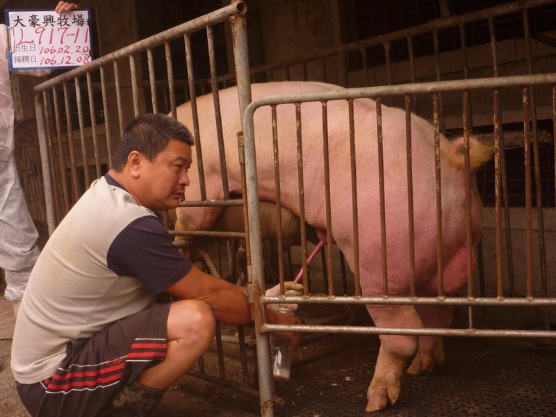 台灣區種豬產業協會10611期L0917-11採精相片
