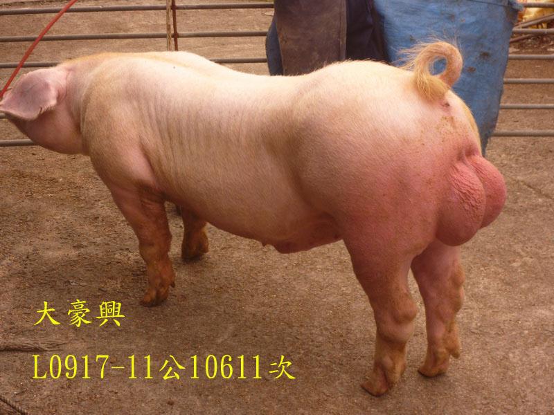 台灣區種豬產業協會10611期L0917-11側面相片