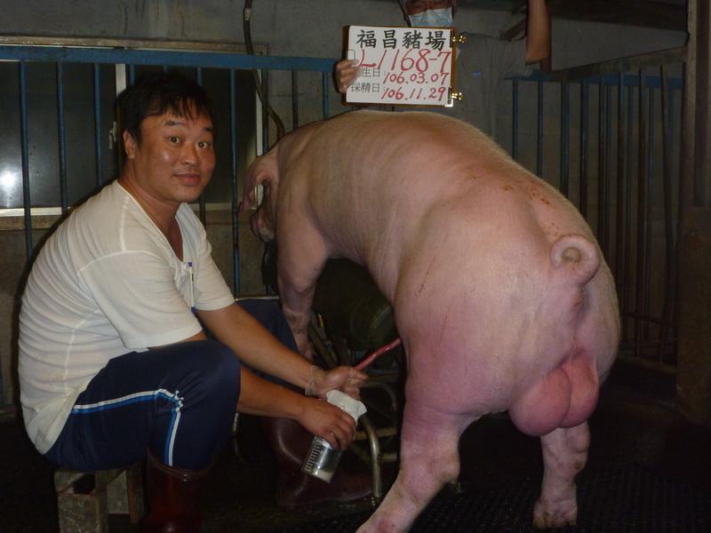 台灣區種豬產業協會10611期L1168-07採精相片