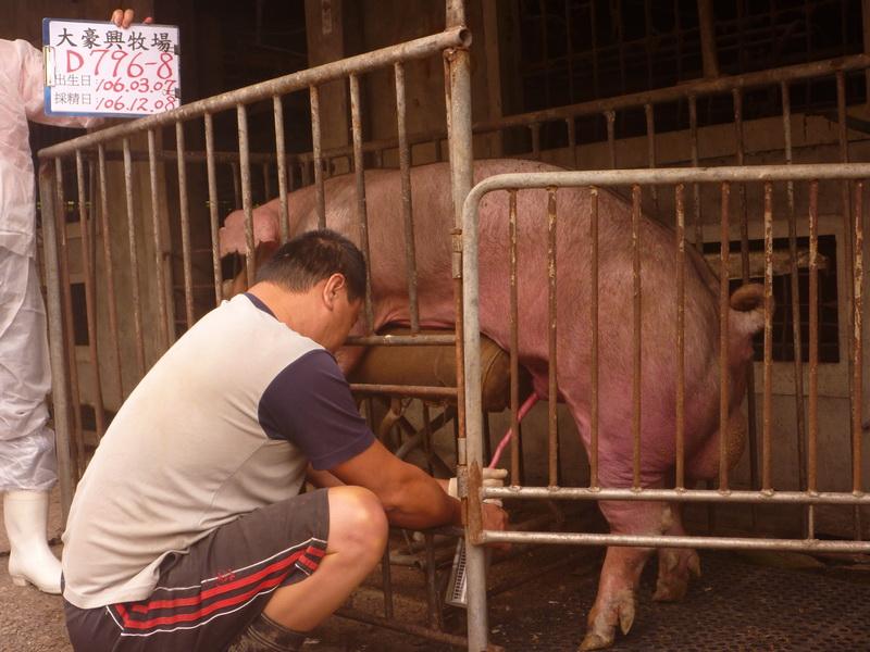 台灣區種豬產業協會10611期D0796-08採精相片