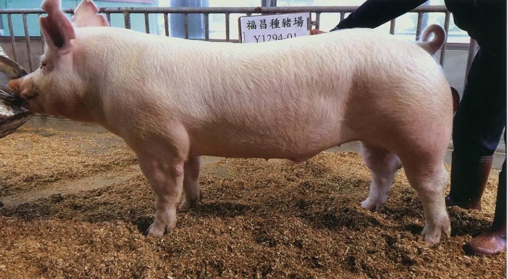台灣區種豬產業協會10611期Y1294-01側面相片