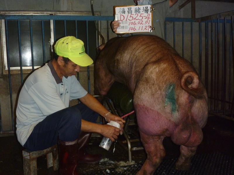 台灣區種豬產業協會10611期D1525-04採精相片
