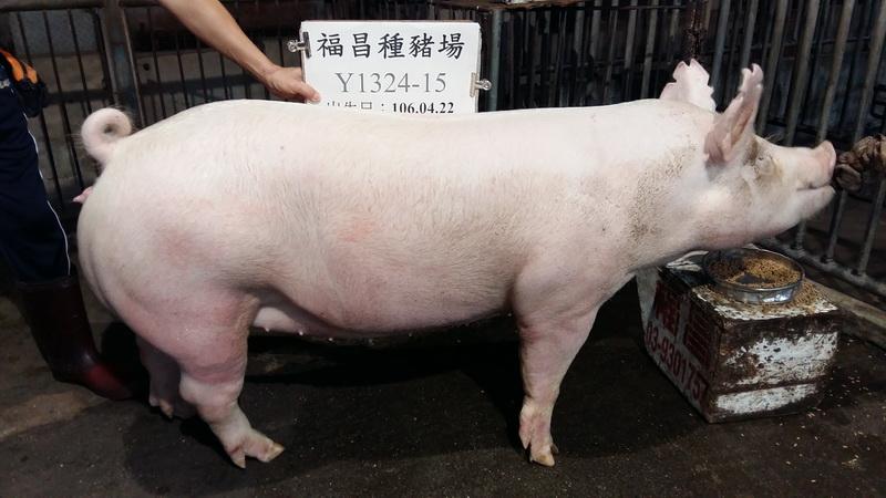 台灣區種豬產業協會10611期Y1324-15側面相片