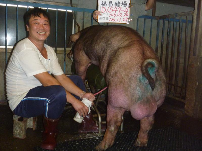 台灣區種豬產業協會10611期D1549-04採精相片