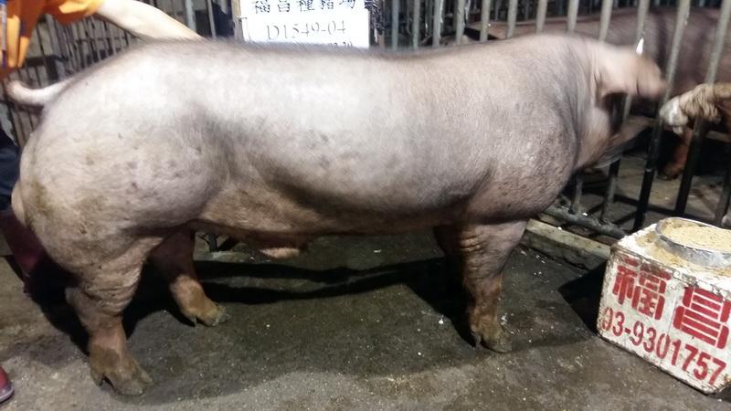 台灣區種豬產業協會10611期D1549-04側面相片