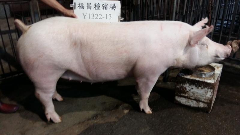 台灣區種豬產業協會10611期Y1322-13側面相片