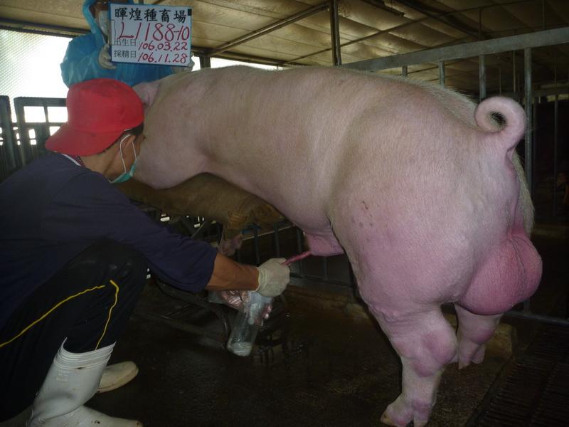 台灣區種豬產業協會場內檢定106T3次L1188-10採精相片