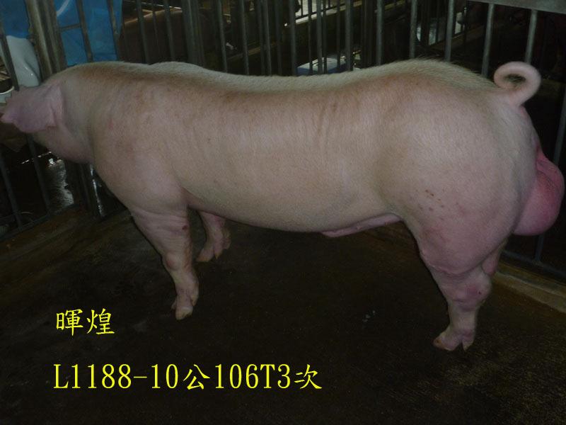 台灣區種豬產業協會場內檢定106T3次L1188-10側面相片