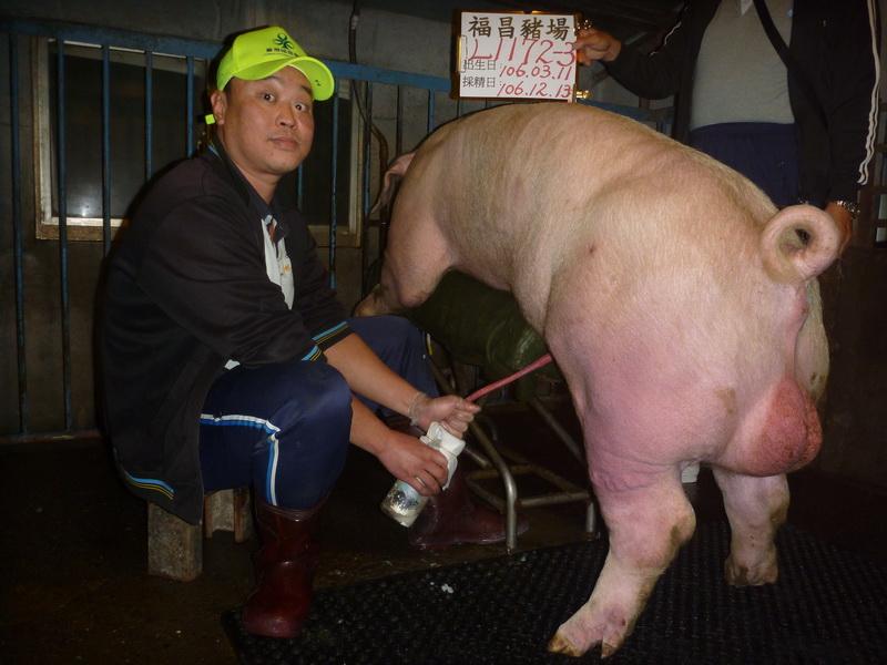 台灣區種豬產業協會場內檢定106T3次L1172-03採精相片