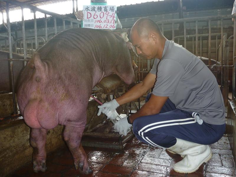 台灣區種豬產業協會場內檢定106T3次D0609-04採精相片