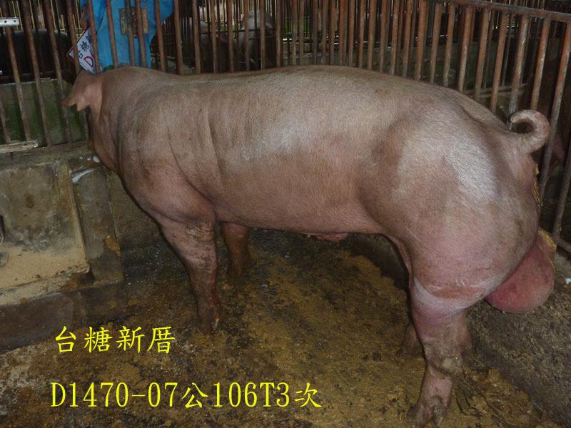 台灣區種豬產業協會場內檢定106T3次D1470-07側面相片
