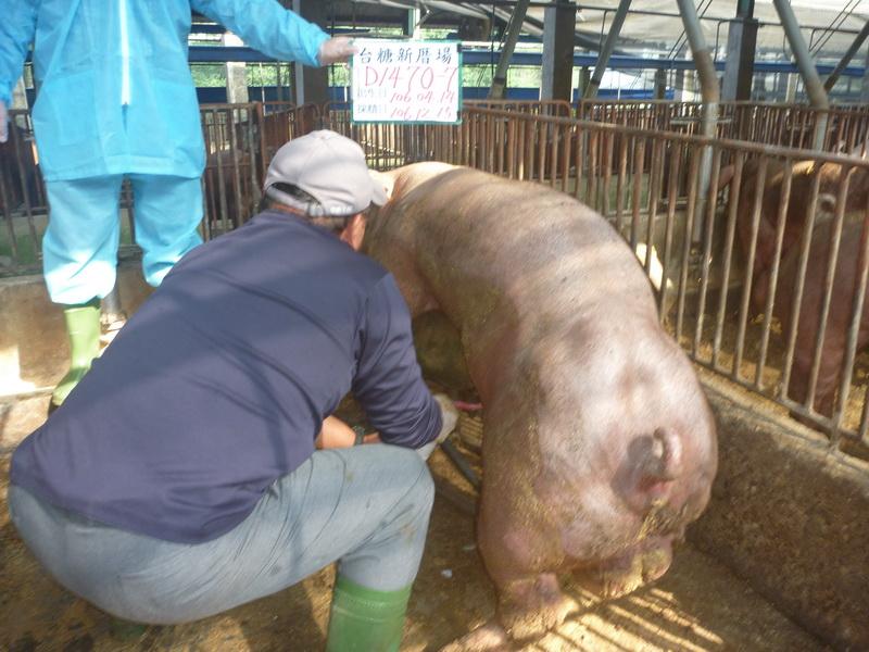 台灣區種豬產業協會場內檢定106T3次D1470-07採精相片