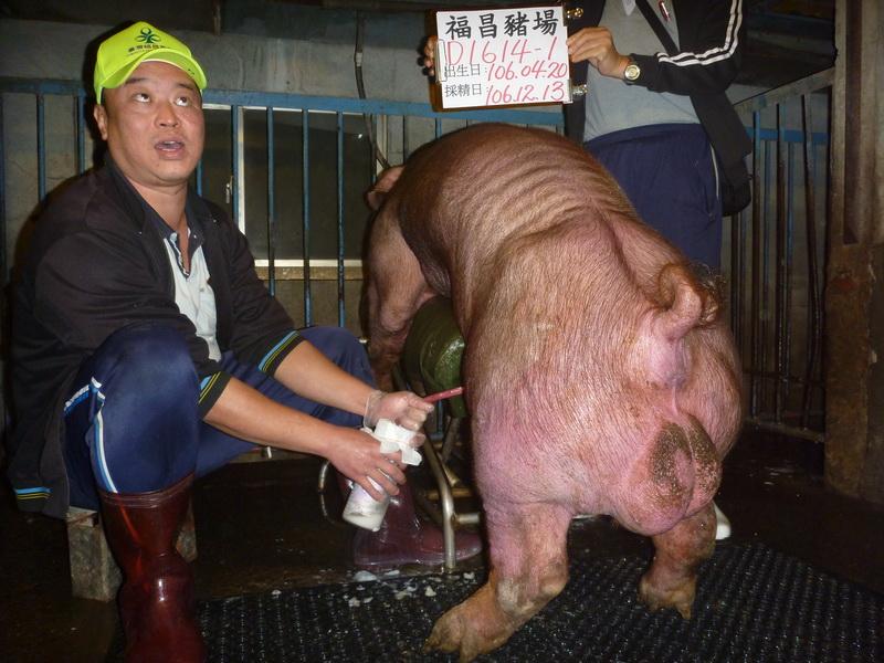 台灣區種豬產業協會場內檢定106T3次D1614-01採精相片