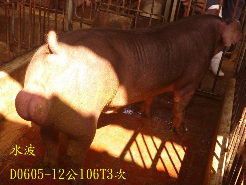 台灣區種豬產業協會場內檢定106T3次D0605-12側面相片