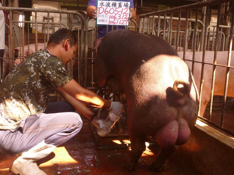 台灣區種豬產業協會場內檢定106T3次D0605-12採精相片