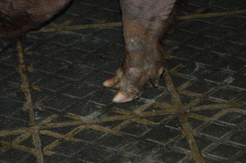 中央畜產會201707期D0030-01體型-四肢相片