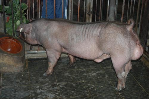 中央畜產會201707期D0026-01體型-全身照片