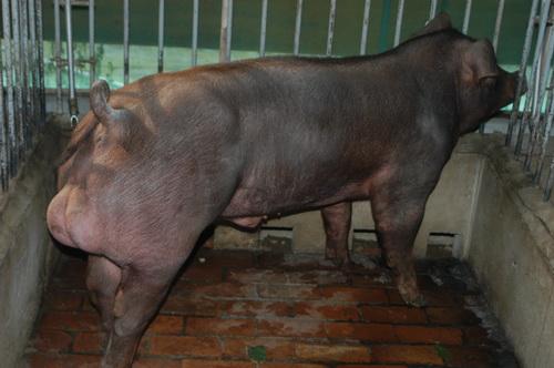 中央畜產會201707期D0160-03體型-全身照片