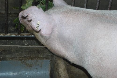 中央畜產會201707期L0429-07體型-頭頸相片