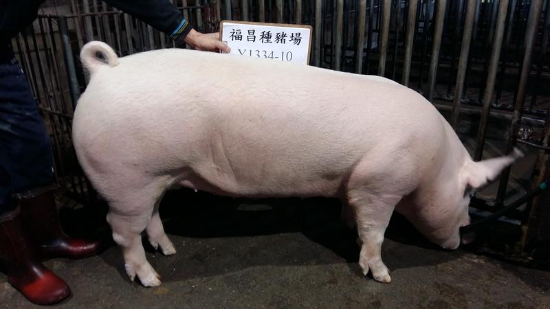 台灣區種豬產業協會10701期Y1334-10側面相片