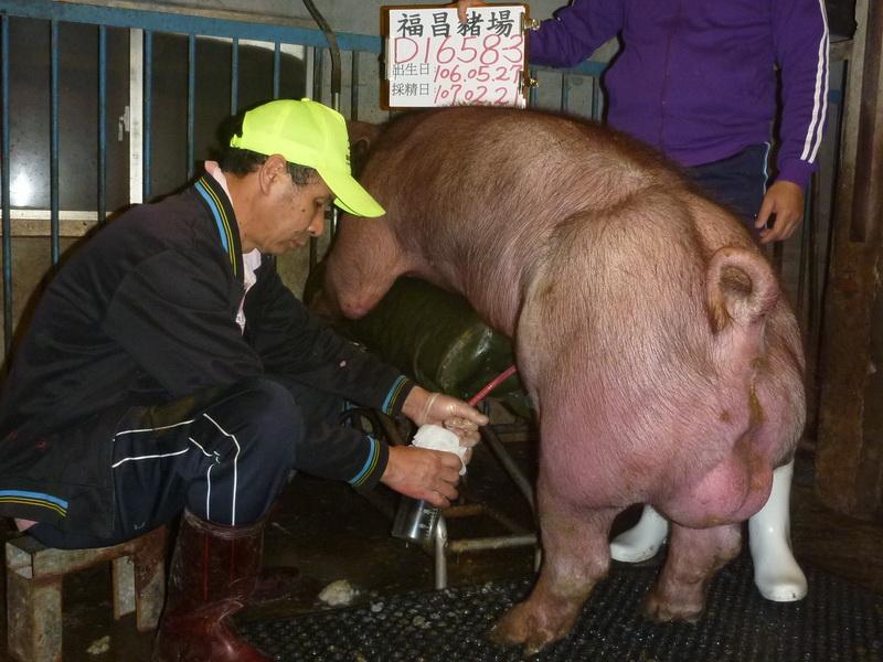 台灣區種豬產業協會10702期D1658-03採精相片