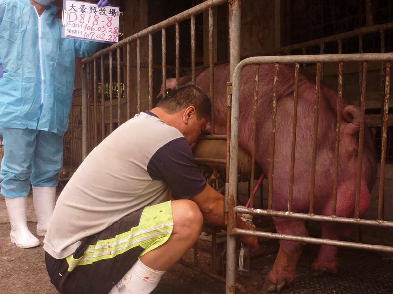 台灣區種豬產業協會10702期D0818-08採精相片