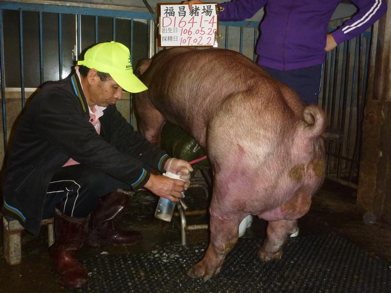 台灣區種豬產業協會10702期D1641-04採精相片