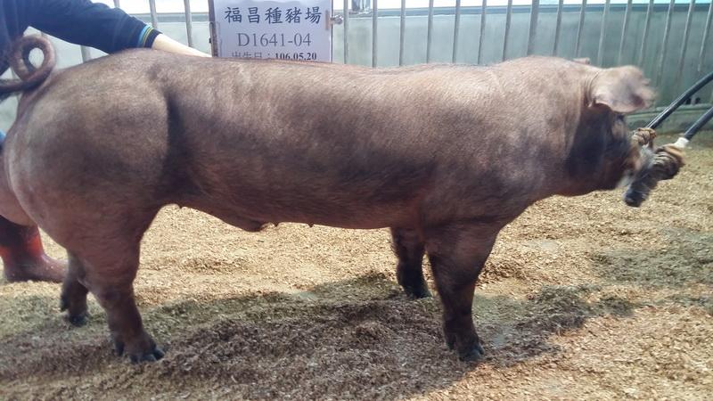 台灣區種豬產業協會10702期D1641-04側面相片