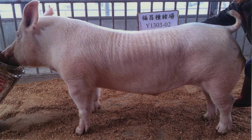 台灣區種豬產業協會10702期Y1303-02側面相片