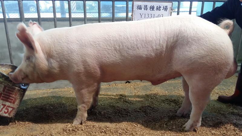 台灣區種豬產業協會10702期Y1331-03側面相片