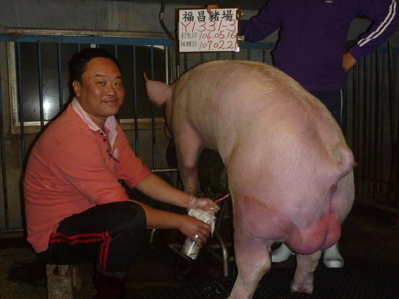 台灣區種豬產業協會10702期Y1331-03採精相片