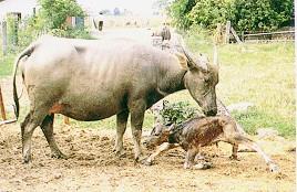 水牛分娩過程-新生牛正欲站立(畜產種原庫及基因交流p44)