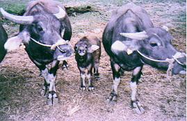 仔水牛之哺育與育成 (3)水牛保種環境-圈飼場景(1) (畜產種原庫及基因交流p47)