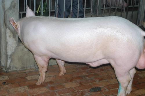 中央畜產會201804期Y1007-12體型-全身照片