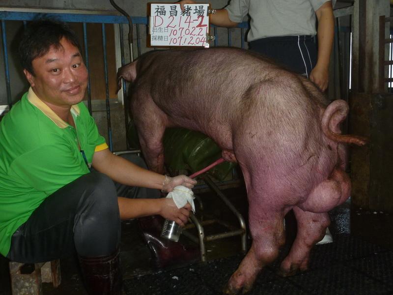 台灣區種豬產業協會10711期D0214-02採精相片