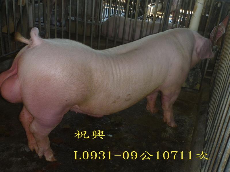 台灣區種豬產業協會10711期L0931-09側面照片