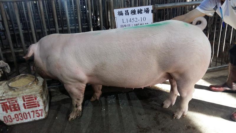 台灣區種豬產業協會10711期L1452-10側面照片