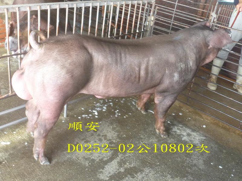 台灣區種豬產業協會10802期D0252-02側面照片