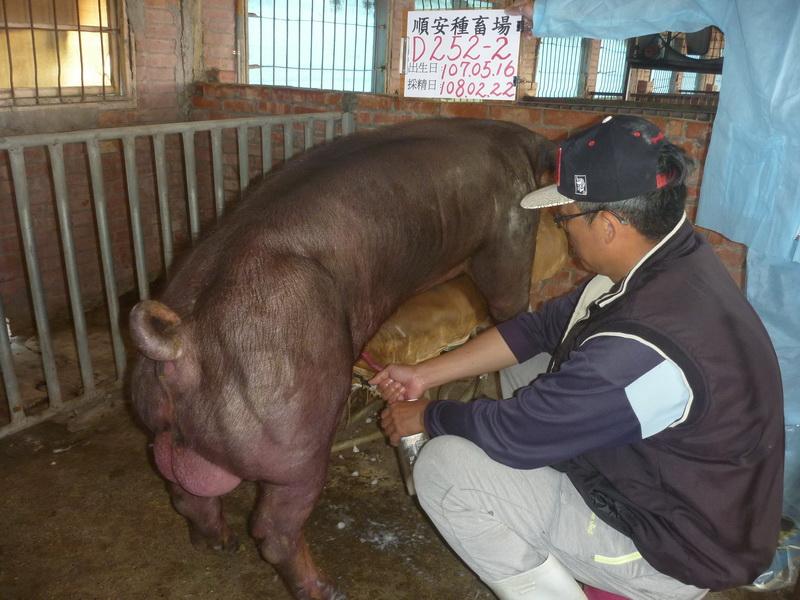 台灣區種豬產業協會10802期D0252-02採精相片
