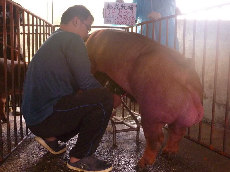 台灣區種豬產業協會10802期D0483-01採精相片