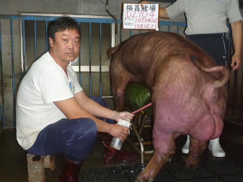 台灣區種豬產業協會10802期D0270-04採精相片