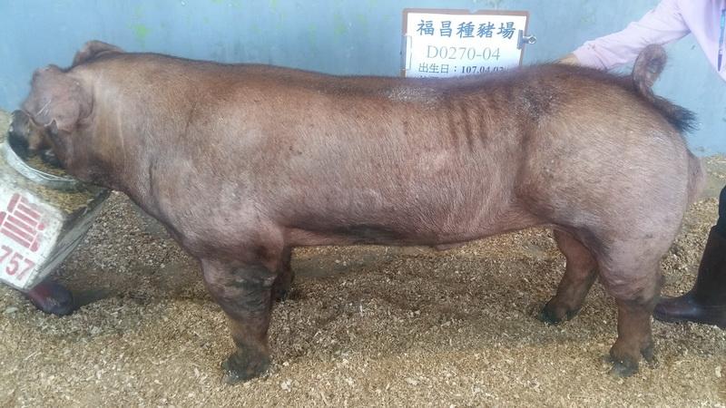 台灣區種豬產業協會10802期D0270-04側面照片