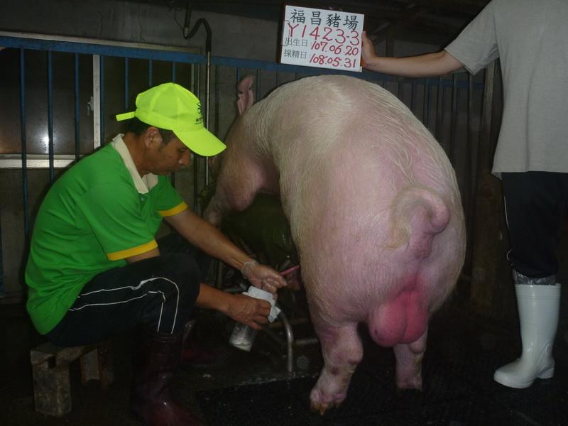 台灣區種豬產業協會10805期Y1423-03採精相片