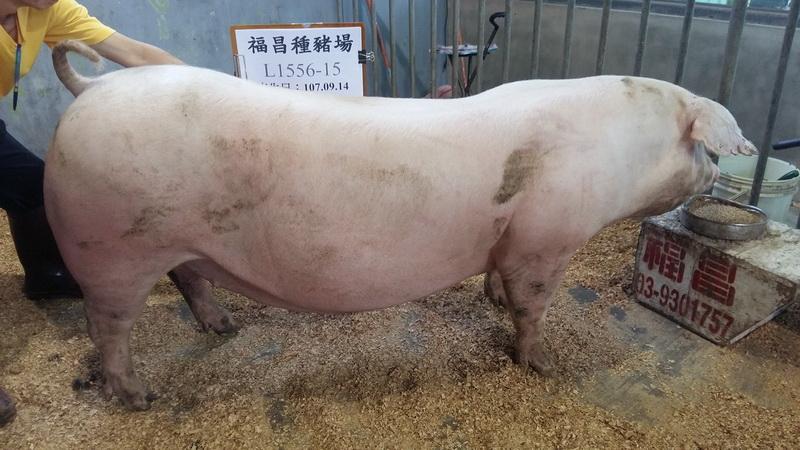 台灣區種豬產業協會10806期L1556-15側面相片