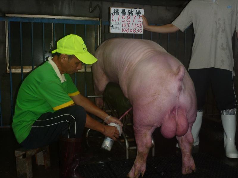 台灣區種豬產業協會10808期L1587-05採精相片
