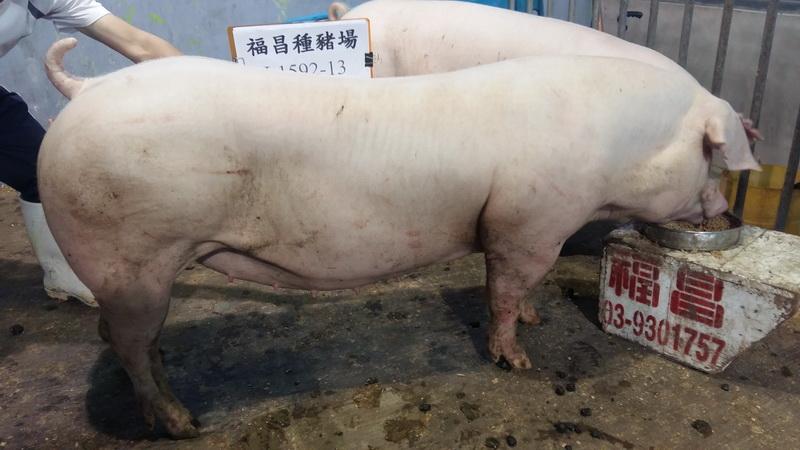 台灣區種豬產業協會10808期L1592-13側面相片