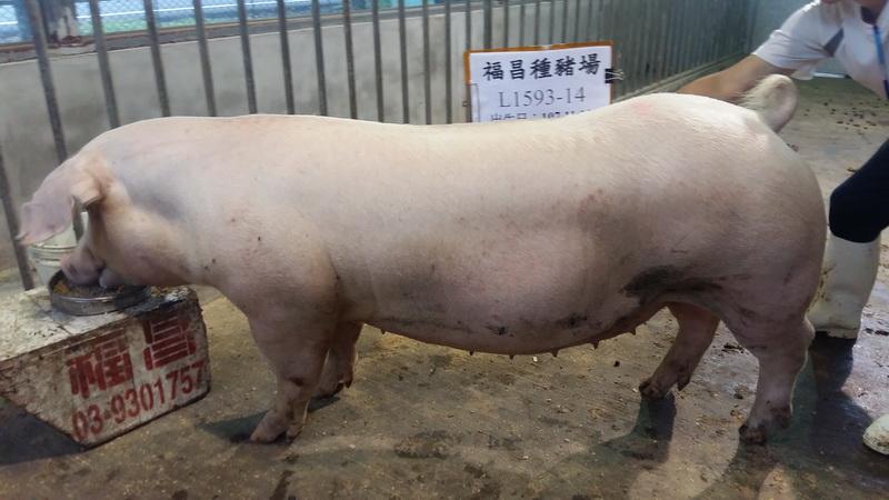 台灣區種豬產業協會10808期L1593-14側面相片