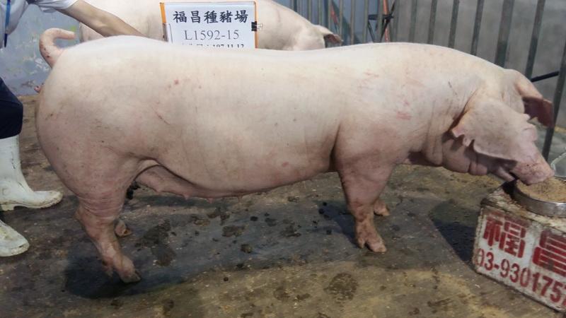 台灣區種豬產業協會10808期L1592-15側面相片